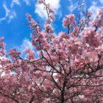 【2021・河津桜 原木】2月でも桜が見たい!早咲き桜おすすめSPOT