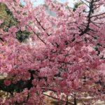 【2021・河津桜 ・桜神宮】東京都内で2月に桜が見える穴場スポット!一足お先に春満開