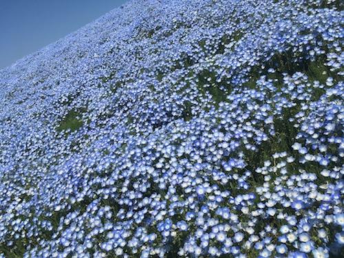 【茨城県・ ひたちなか】国営ひたち海浜公園ネモフィラと空と海とが織り成す青のハーモニー